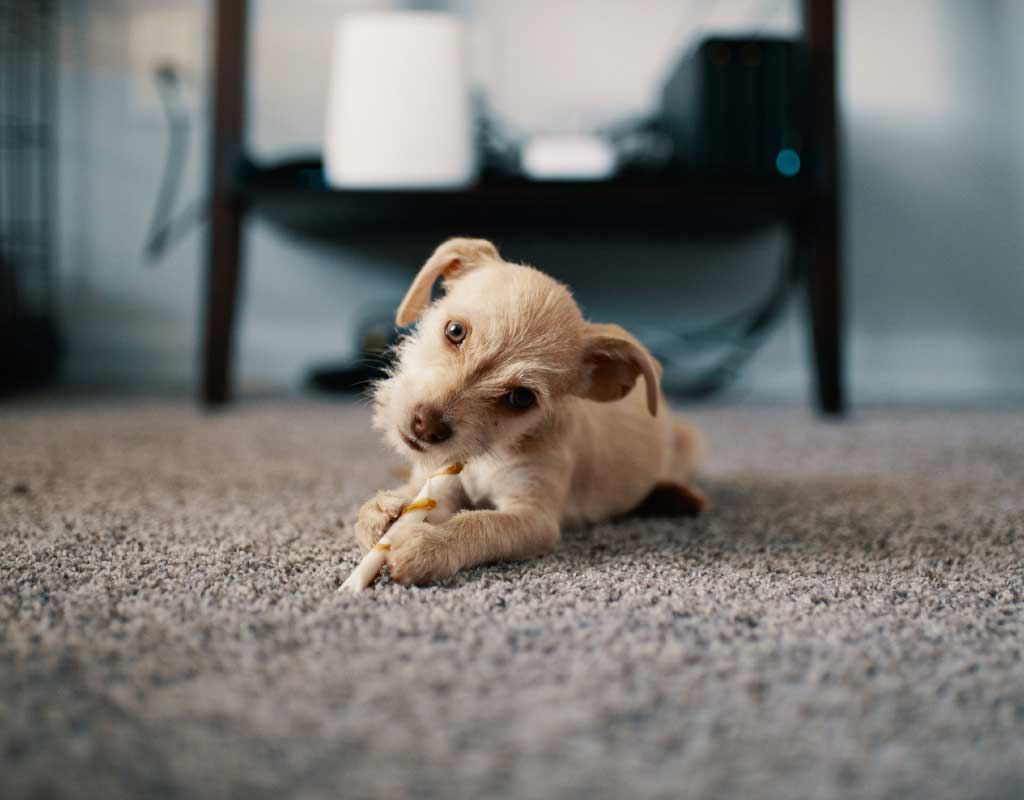 Image of puppy on clean carpet.